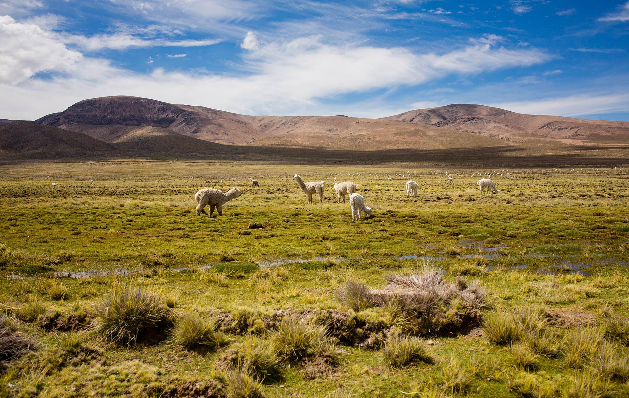 Alpakas im Hochland von Peru