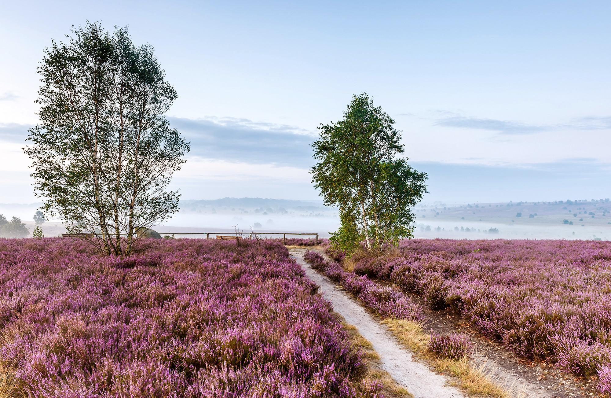 Die lila Heideblüte in der Lüneburger Heide erinnert an die französische Provence