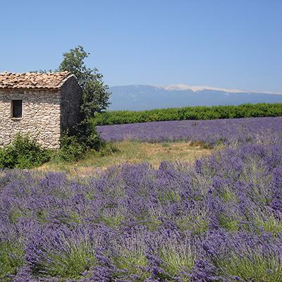 Vom Camping Sorguette aus, kann man entlang Lavendelfelder spazieren