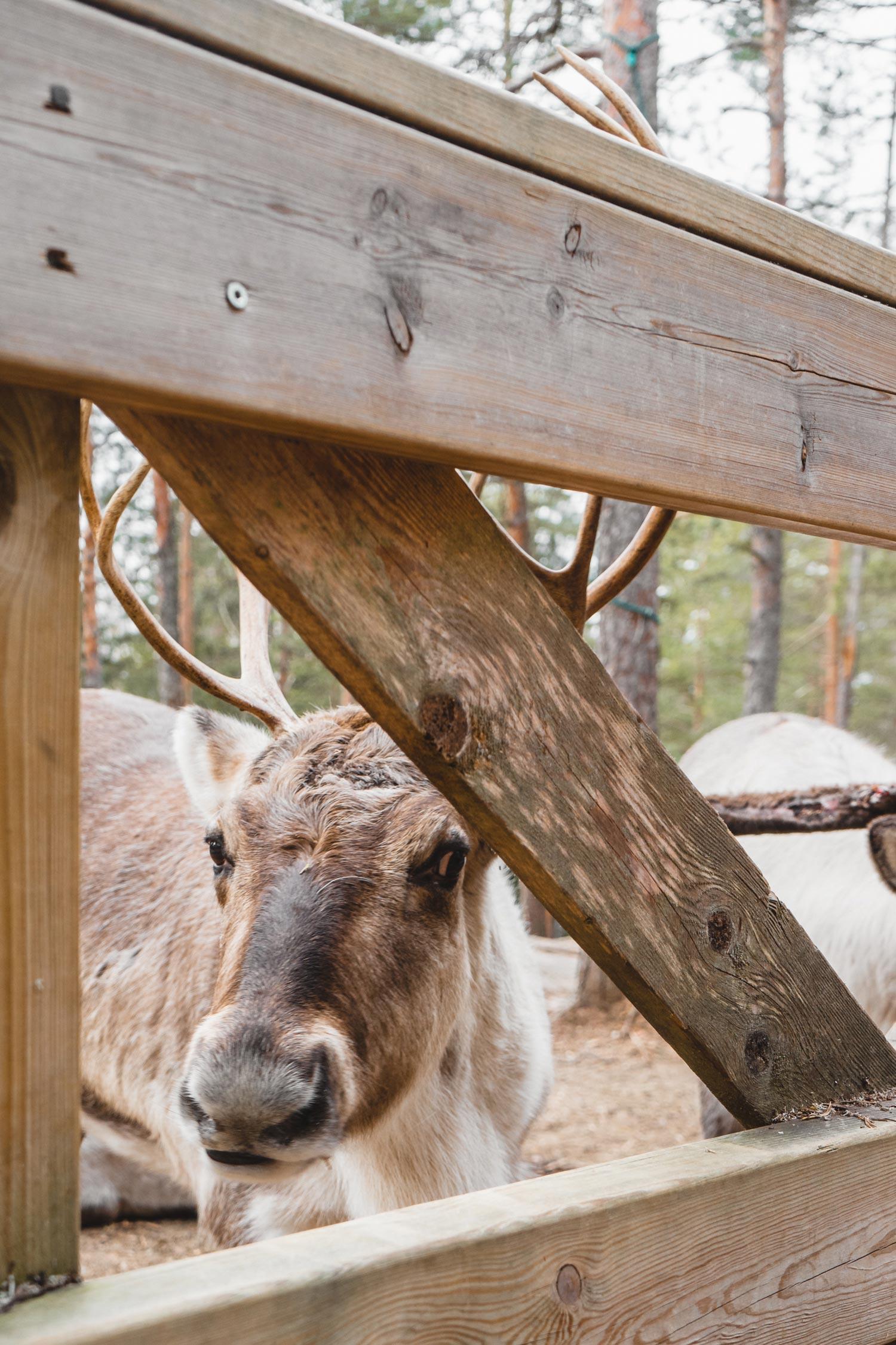 Der Reindeer Park im Nationalpark ist ebenfalls sehenswert