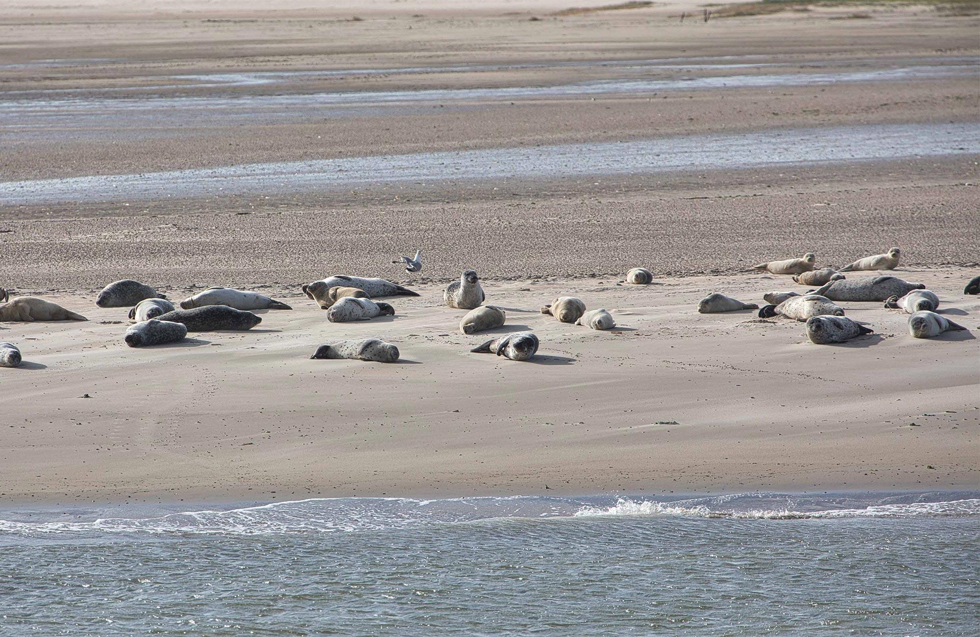Die Bewohner der kleinsten ostfriesischen Inseln teilen sich die Insel mit diesen süßen Robben