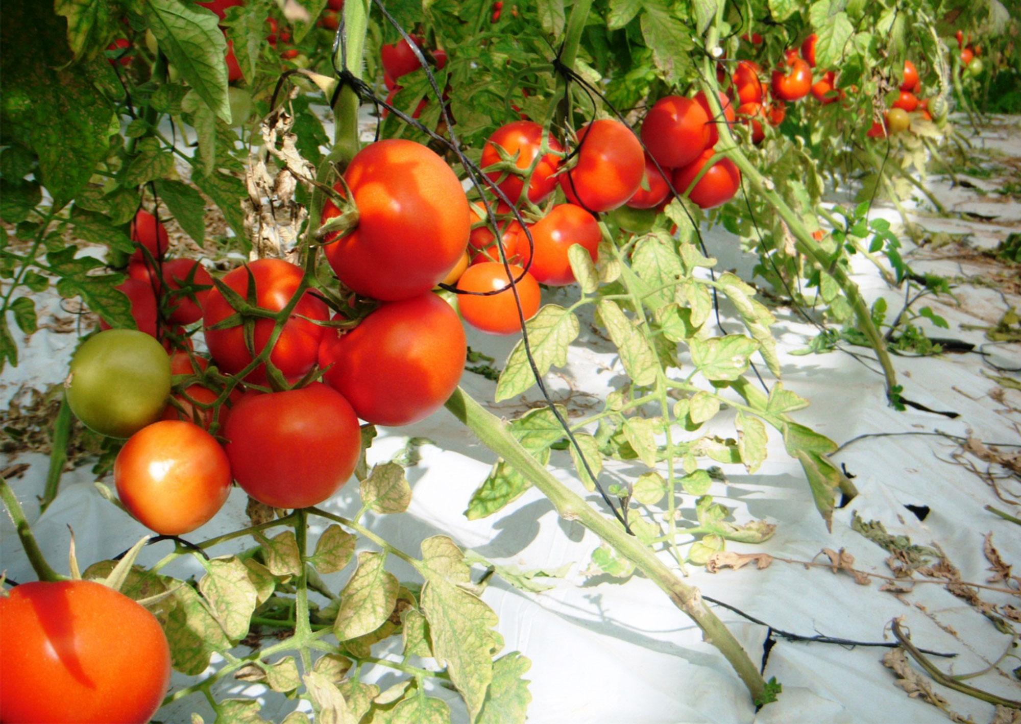 Hauseigene, saftige Tomaten