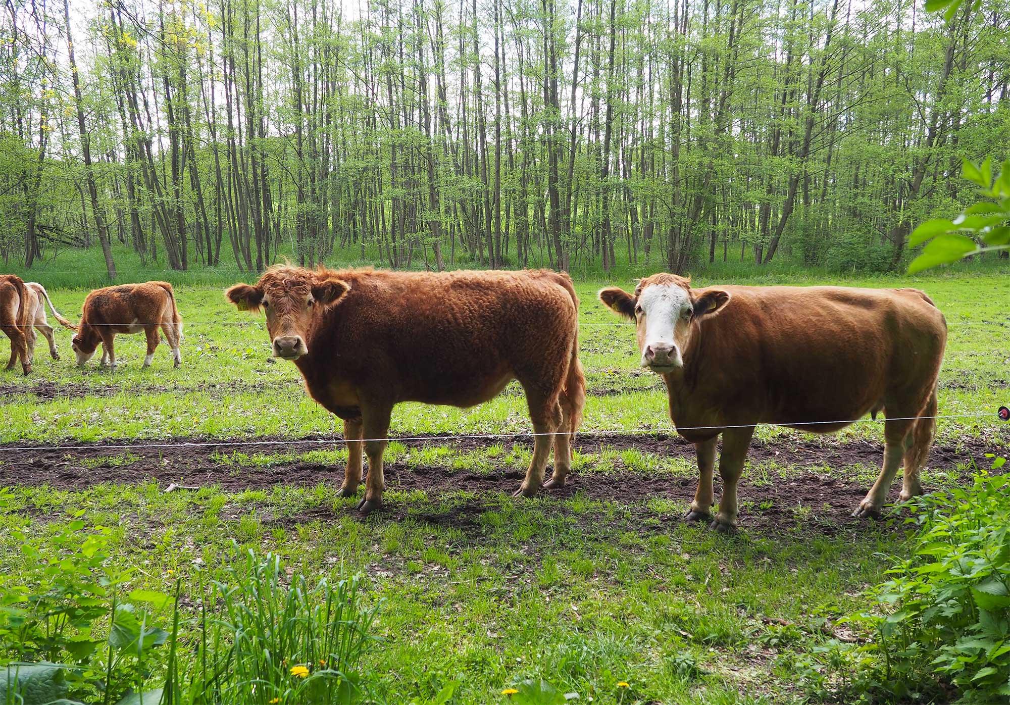 Glückliche Kühe auf dem Gut Boltenhof