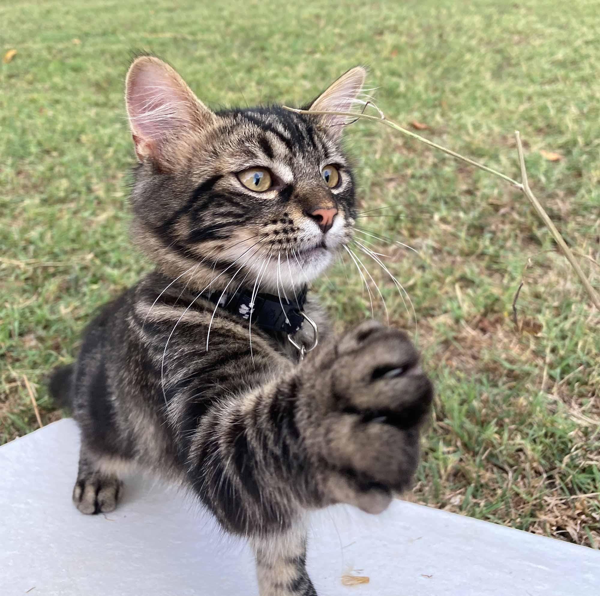 Die Katze fordert ihre Streichel- und Spieleinheiten ein